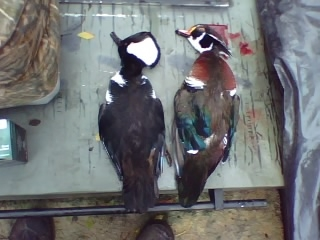 Colby McDaniel  11-25-09  Hooded Merganser & Wood Duck Drake